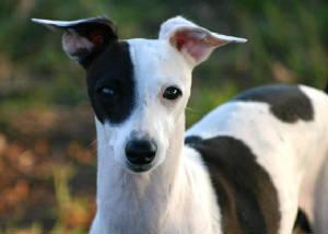 Triangle Italian Greyhound Rescue Of Nc